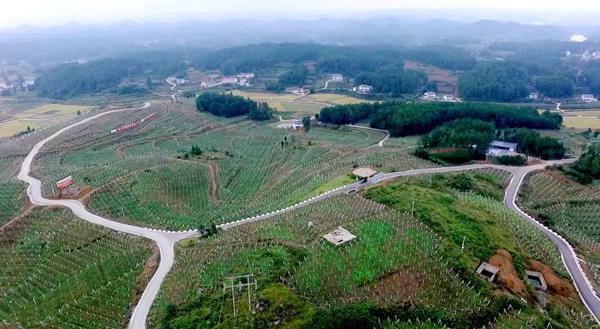 春风化雨正当时 ——贵州遵义播州区三岔镇发展猕猴桃产业解读