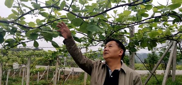 安徽金寨组建猕猴桃合作社 联合推广有机猕猴桃