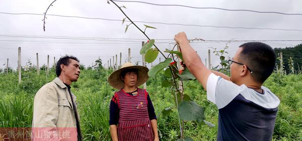 贵州红心猕猴桃价格