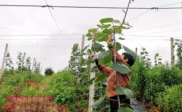 贵州有机猕猴桃果园