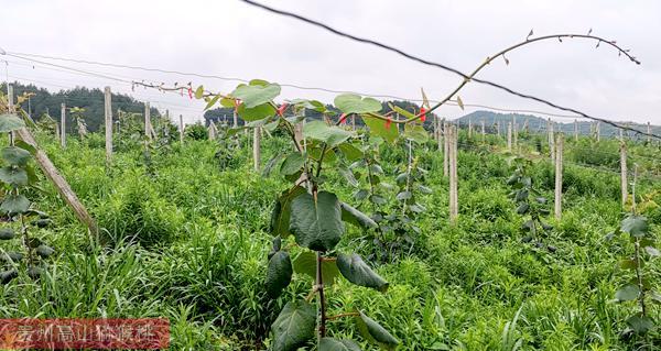 高山有机猕猴桃果园