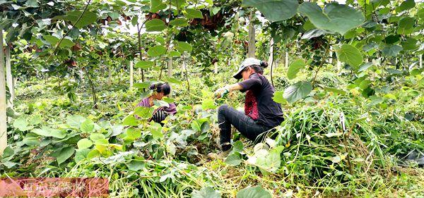 6月獼猴桃果園六項田間管理夏季關鍵事項