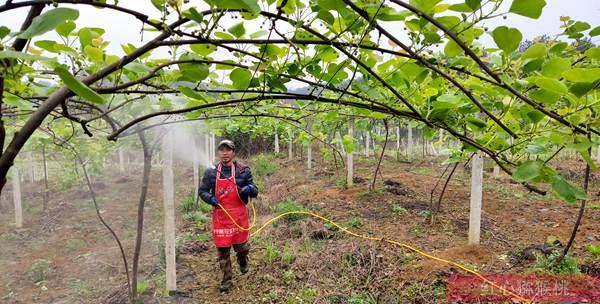 湖北赤壁黄心猕猴桃受到市场追捧 一斤卖到30元