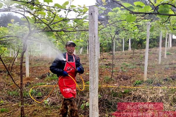 猕猴桃水分管理流程 科学控制灌水量