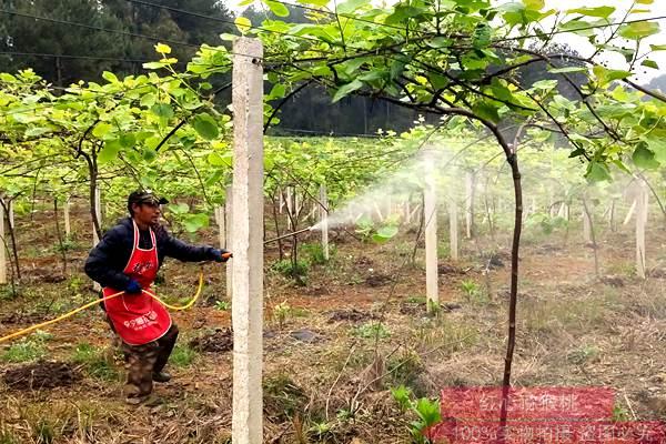 王中炎的超级猕猴桃品种 炎农三号在湖南长沙大丰收