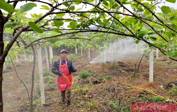湖北恩施建始的猕猴桃产业发端于上世纪80年代