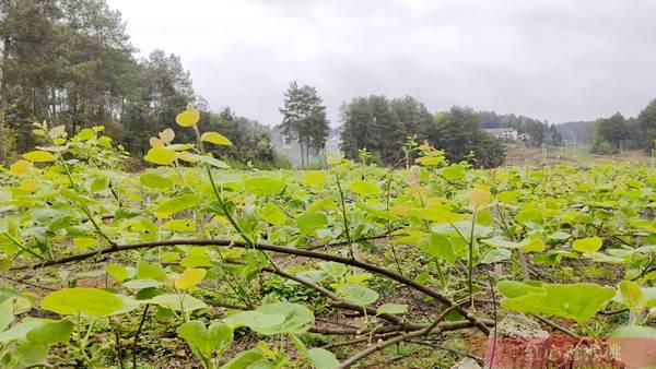 湖北赤壁神山兴农科技有限公司旗下的有机猕猴桃种植基地面积一万亩