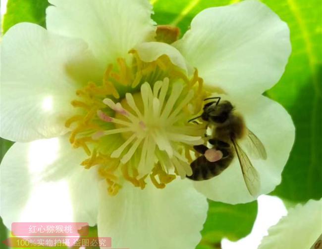 猕猴桃蜜蜂授粉