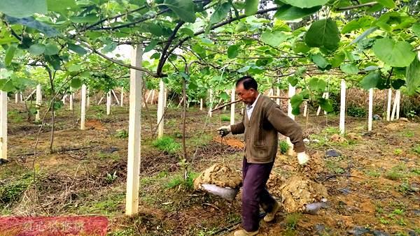 四川瀘州市納溪區白節鎮興橋村紅心獼猴桃種植大戶胡登華喜獲豐收