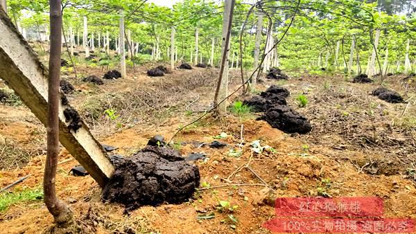 猕猴桃使用化肥超量严重 掌握科学施肥方法 避免肥害发生