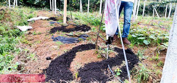 红心猕猴桃施有机肥