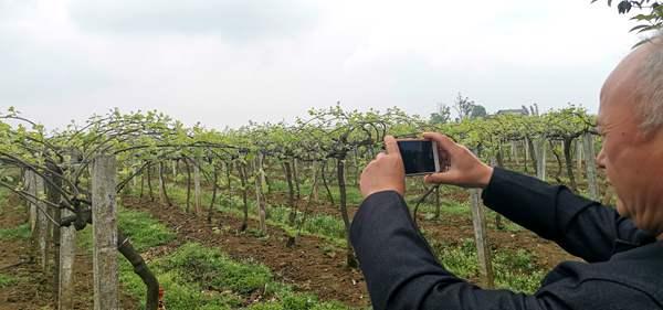 湖南凤凰选择猕猴桃最佳种植区