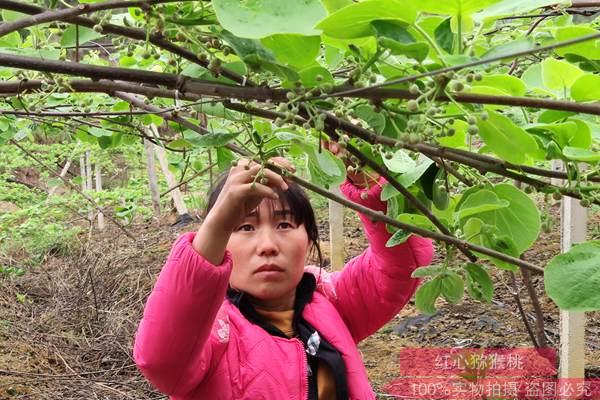 猕猴桃抹芽