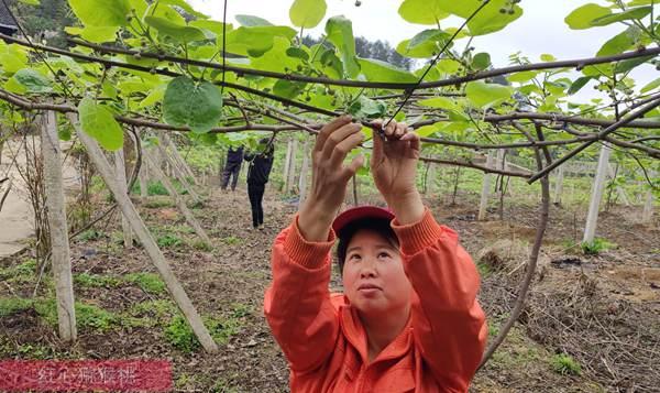 湖南土家族老人迷上猕猴桃