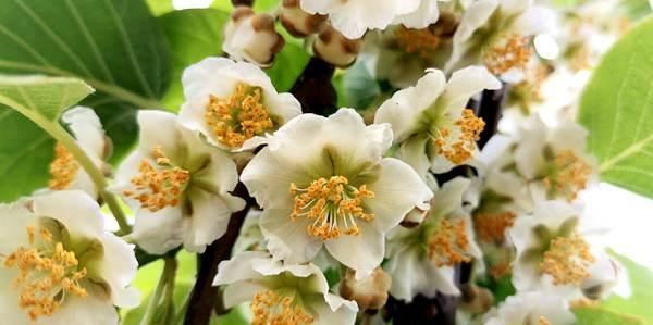 贵长猕猴桃花粉