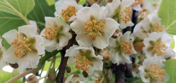 猕猴桃花蕾和半张开的鲜花