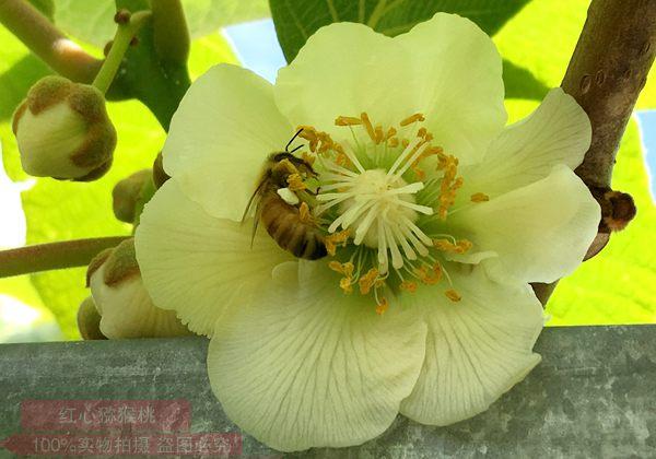 红心白白色为什么要采用人工授粉 花粉科学使用方法