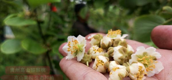 有机猕猴桃花粉