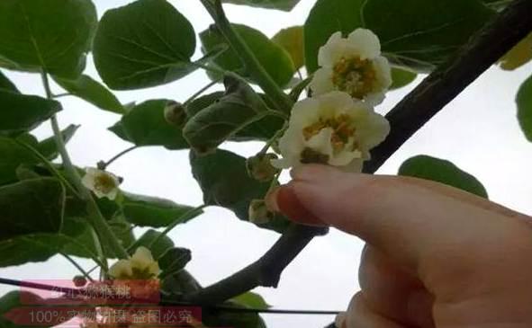 """陕西周至猕猴桃种植协会会长金恒斌老师注册了""""巧蜜蜂""""花粉商标"""