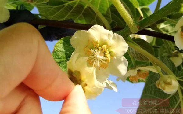 猕猴桃花粉批发零售价格多少钱一克买到