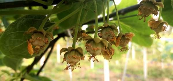 猕猴桃果树坐不住果,猕猴桃着色期落果主要原因分析总结