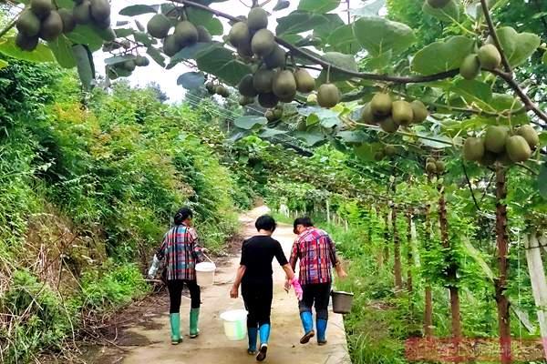 夏季来临 七月猕猴桃田间水分管理和施肥技术