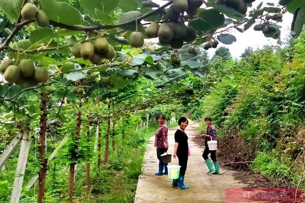 湖南凤凰县猕猴桃味美香甜可口