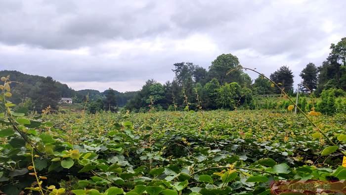 四川开县青松村:千亩猕猴桃托起贫困村的希望