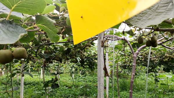 四川成都都江堰挂果的红心猕猴桃果园网上拍卖