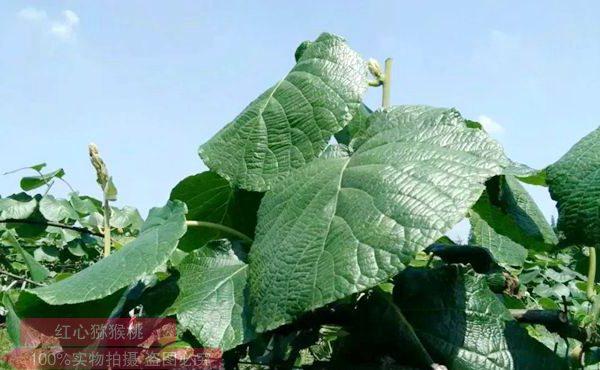 提高果實糖分和耐儲性,獼猴桃夏季修剪很重要(重)
