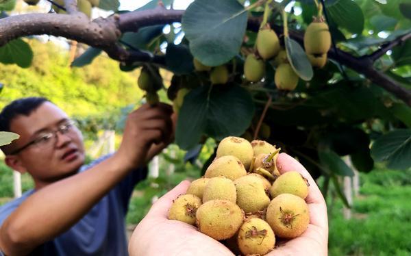 位于北京郊區的愛農莊園生態有機種植農場 本文由貴州遵義獼猴桃基地整理編輯