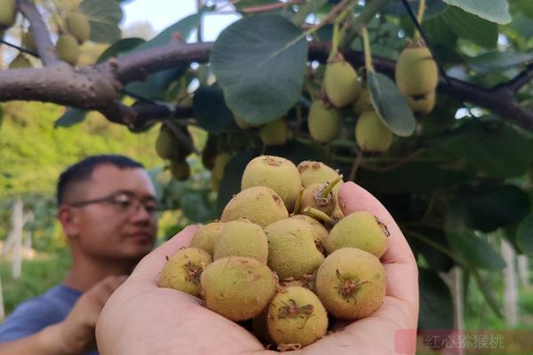 红心猕猴桃疏果