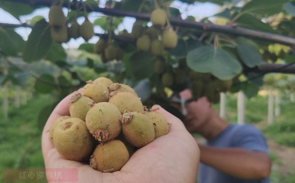 黄心猕猴桃疏果