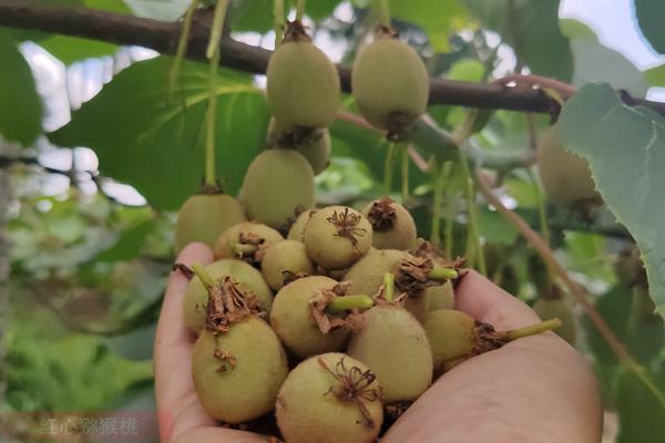广西贺州市八步区开山镇千亩有机猕猴桃初次挂果