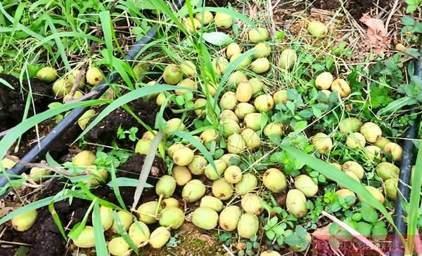 猕猴桃异常落果四个主要原因 防治措施