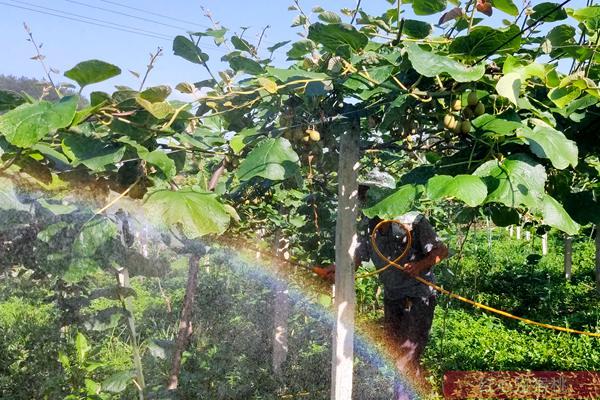 猕猴桃叶面肥