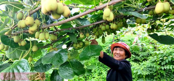 湖北赤壁神山兴农科技有限公司带动下 有机猕猴桃不愁卖