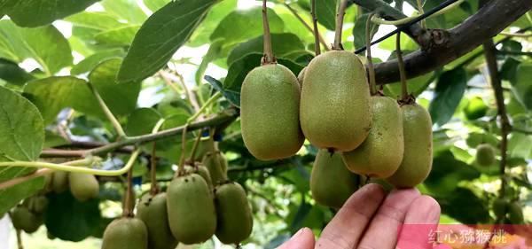 猕猴桃疏果