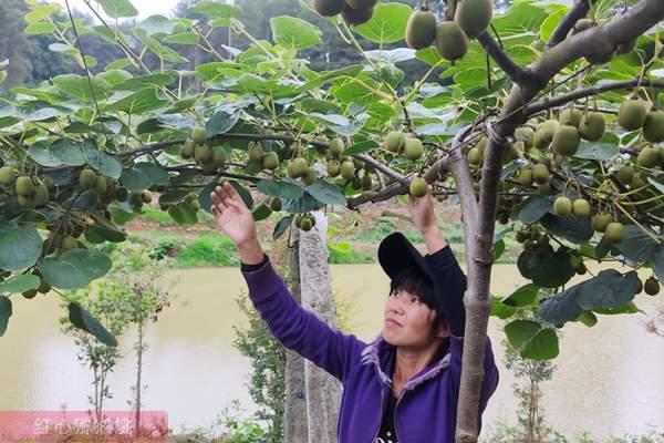 贵州猕猴桃疏果