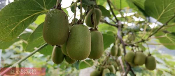 四川消費者紛紛下鄉搶購紅心獼猴桃
