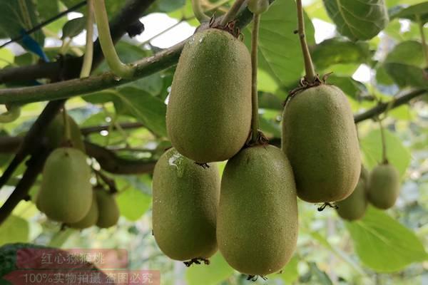 浙江东红猕猴桃疏果