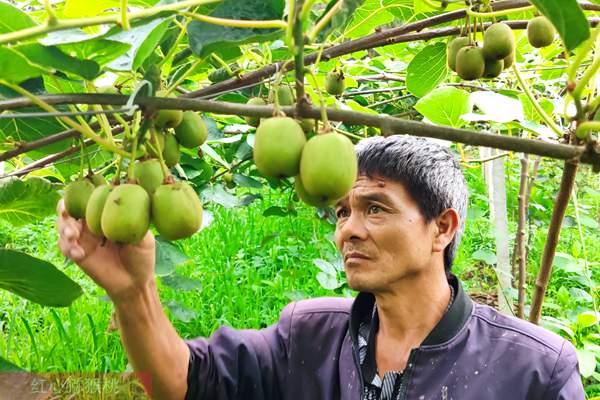 对山东猕猴桃种植者的建议
