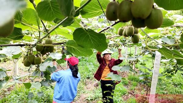 山东东红猕猴桃疏果