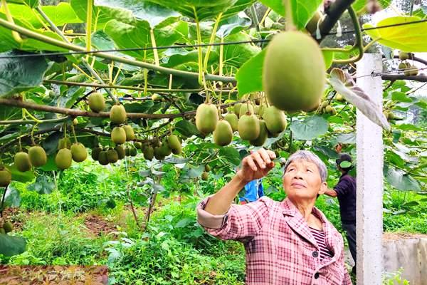 湖北宜昌充分利用野生有机猕猴桃资源 有效地带动了当地的产业发展