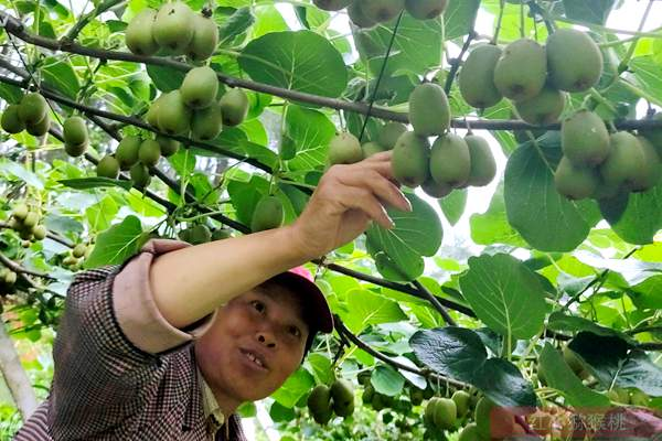 有机猕猴桃营养又健康 探访江苏江都樊川有机猕猴桃果园的报道
