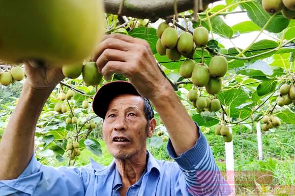 湖南永州江华县种植一百多亩红心白白色