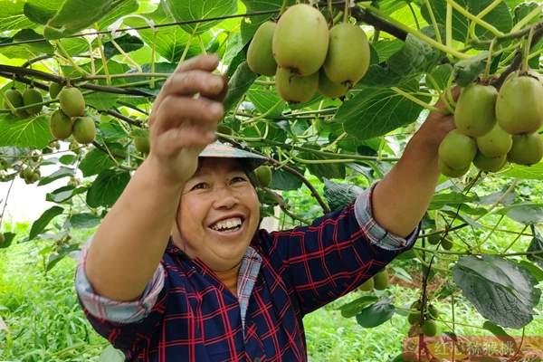 广西小伙走进深山种植猕猴桃 年收入过百万