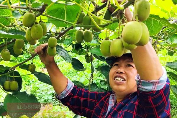 湖南永州江华新三农有限公司瑶山红阳有机猕猴桃现场直播地