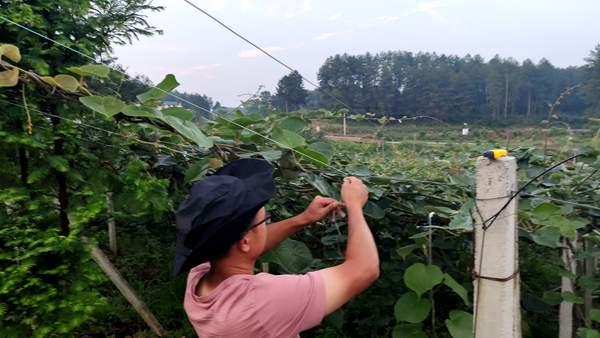 四川成都打造红黄绿为主的红心猕猴桃