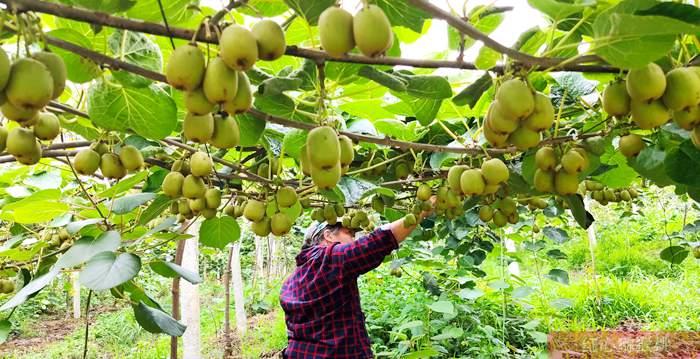 四川雅安荥经县成立合作社 大家就只管专心种好猕猴桃就行了